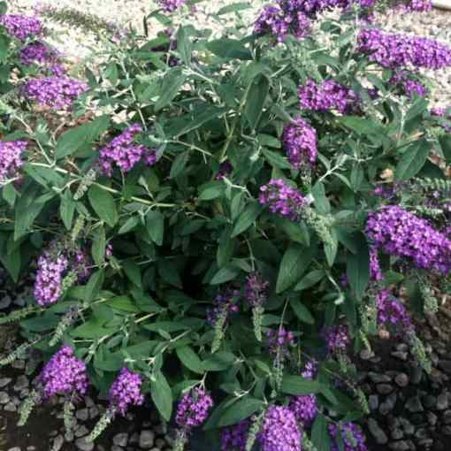 15 Beautiful Plants With Purple Flowers Pyracanthacouk
