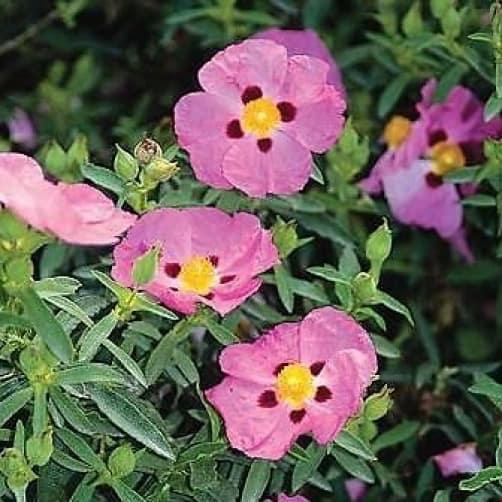 Cistus Purpureus Purple Flower