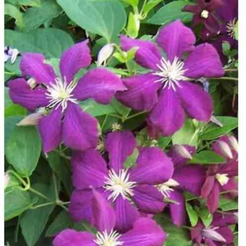 Clematis Etoil Violet