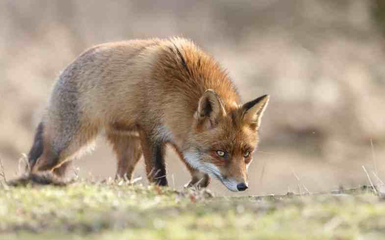 4 Fox Deterrent Strategies That Actually Work