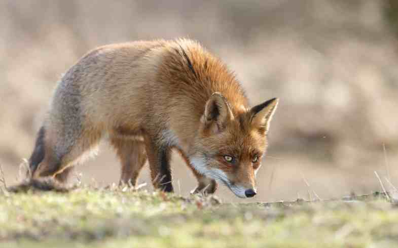 Fox Deterrent Strategies That Actually Work