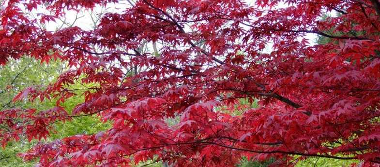 Pruning Acer Trees and Shrubs – everything you need to know