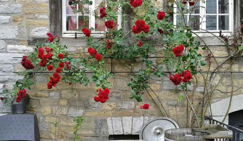 The difference between climbing and rambling roses