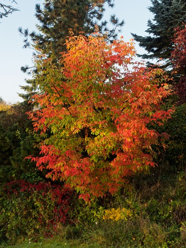 Maple trees, particularly the paperbark maple tree offers a visually captivating display on the tree trunk itself. This tree has an oval crown with an open habitat and the branches grow upright. The leaves start off as green and eventually convert to scarlet in autumn.