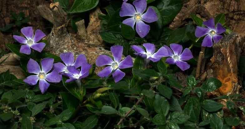 Top 10 Best Ground Cover Plants – Shrubs & Perennials
