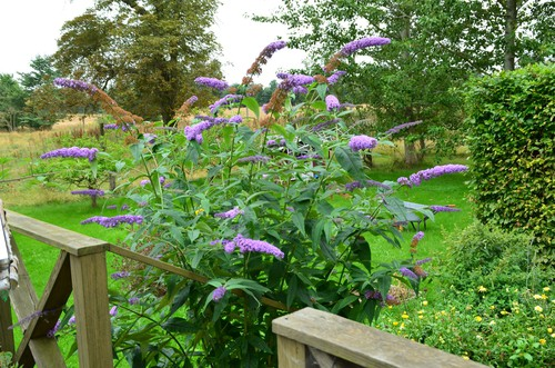 It's great for attracting bees and butterflies into the garden and is probably one of the easiest shrubs to grow with very little maintenance need. They can be pruned back hard to control the size and respond very well to pruning but it's not essential except for controlling the size. With a size in mind, you can even get dwarf varieties now that grow much smaller which are a great choice for small gardens.