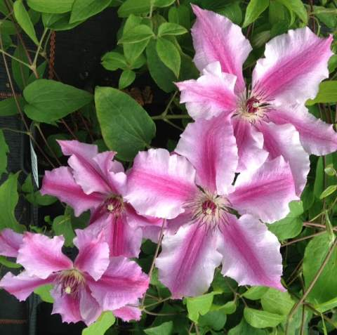 If you are growing it in a container in the shade rest assured that it will provide some stunning contrast with its brightly coloured flowers and is perfect for containers placed on your patio, in your garden, or on your deck. With this variety, you only need to reduce the stems to about 15 cm at the end of winter seasonally and this will encourage stronger growth for the upcoming season. Be cognizant of the fact that once it reaches full maturity after a few years can get up to 100cm in height which is relatively small compared to most clematis which makes it suitable for smaller gardens.