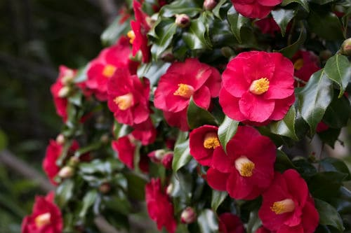 These are flowering, shade loving shrubs that produce many different bloom colours ranging from light pinks to rich rubies to white or cream. They will bloom in the winter in the early spring which adds a bit of cheer to any garden that might otherwise be lacking in colour.