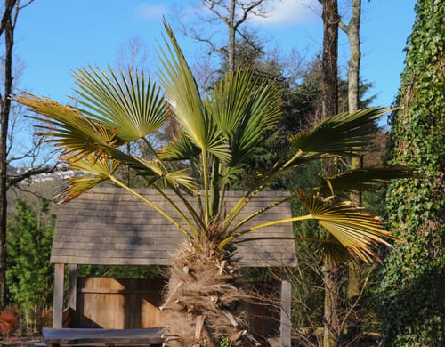 These beautiful tropical looking trees are referred to casually as the European fan palm and are used in temperate climates for landscaping because of how easily adaptable they are.