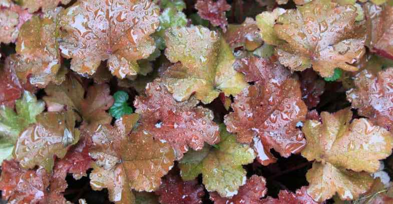 Growing Heuchera – planting & care guide