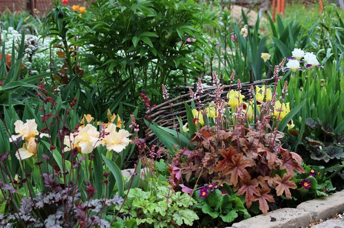 Different types of heuchera in flower bed