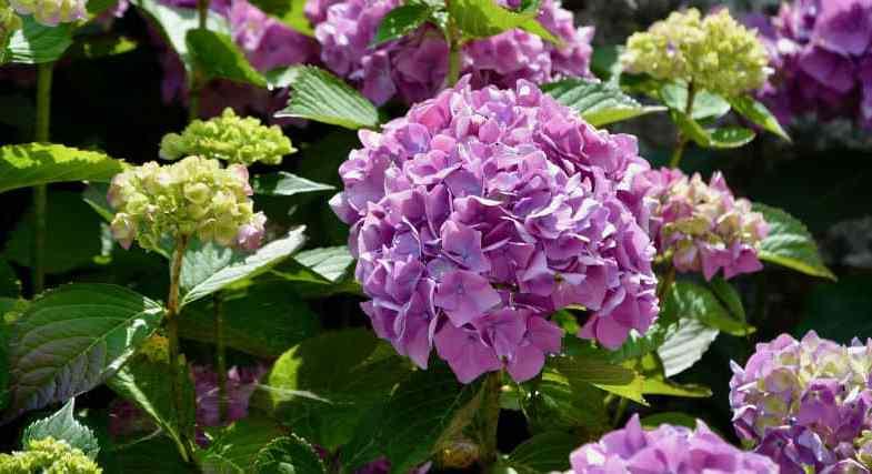 How to Prune Hydrangeas – the beginner's guide