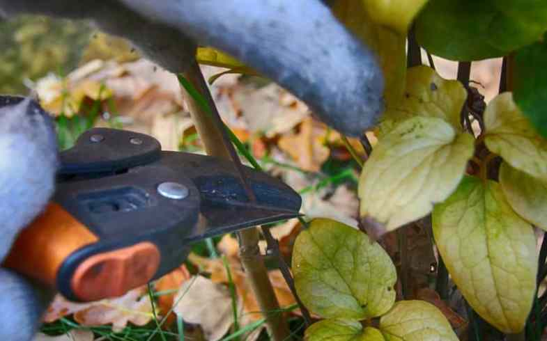 How To Take Clematis Cuttings