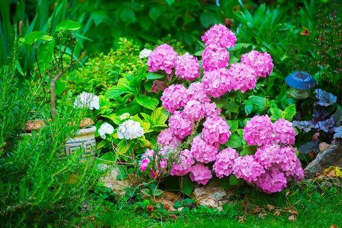 Otherwise known as the mophead hydrangea, this shrub will give you voluptuous blooms that can range in size and colour. If you are looking for a plant that requires very little maintenance, next to no pruning, and whose bloom colours you can control, this is what you want in your small garden.