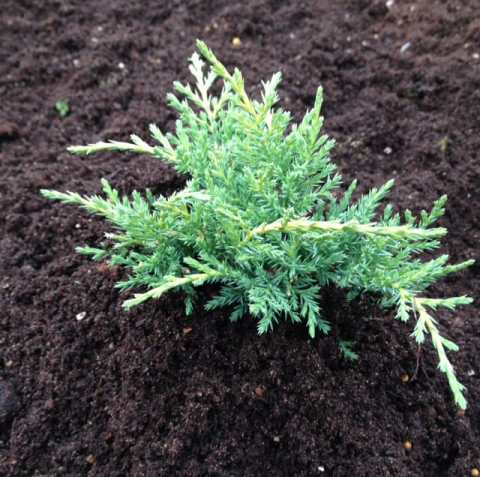 This Conifer gets its name from the beautiful glow it provides. All season long you will get needle-like foliage that takes on a golden yellow hue and eventually turns to an orange-pink shade during the winter.