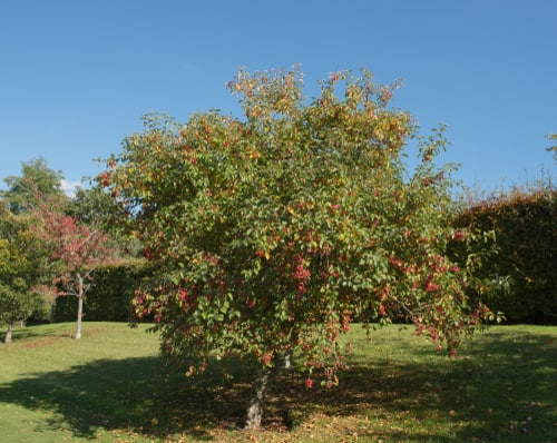 The crab apple tree can spread 4-8 meters wide and end up 5 or 10 meters tall once established. It blooms in April with violet and red colours and flourishes with regular watering and full sun.