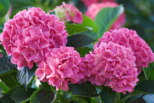 Mophead hydrangeas as pictured above, do not require regular pruning. What is best for them however is deadheading where you remove the flowers after they have bloomed