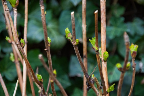 Knowing when and how to prune is important to keep these flowers blooming as much as possible. It's also important to know that not all hydrangeas should be pruned at the same time and pruning at the wrong time is one of the main courses with hydrangeas not flowering.