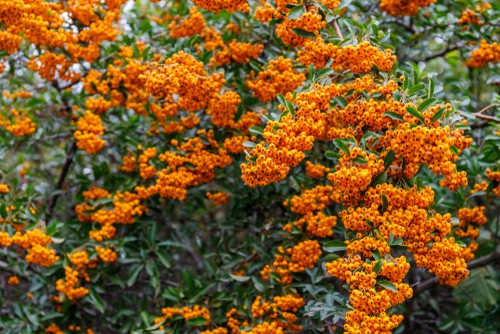Pyracantha which is how this website came about encompasses a genus of thorn filled evergreen shrubs. If you are looking for a beautiful shrub to fill your clay-heavy soil, and particularly want one that you can use as a hedge or provide protection against invasive animals