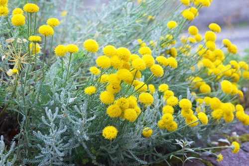 For those of you interested in adding yellow colour to your garden but maintaining a unique colour spread in an otherwise monochromatic green world the rest of the year, the lavender cotton plant is the perfect solution.