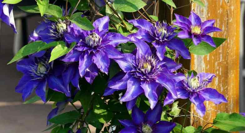 When to prune clematis