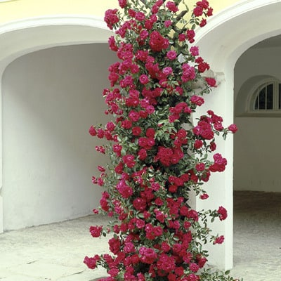 The climbing roses, by comparison, will not smother your garden and overwhelm with the number of roses produced although sometimes they will produce a large show of flowers but rather will give you flushes of flowers on a regular basis.