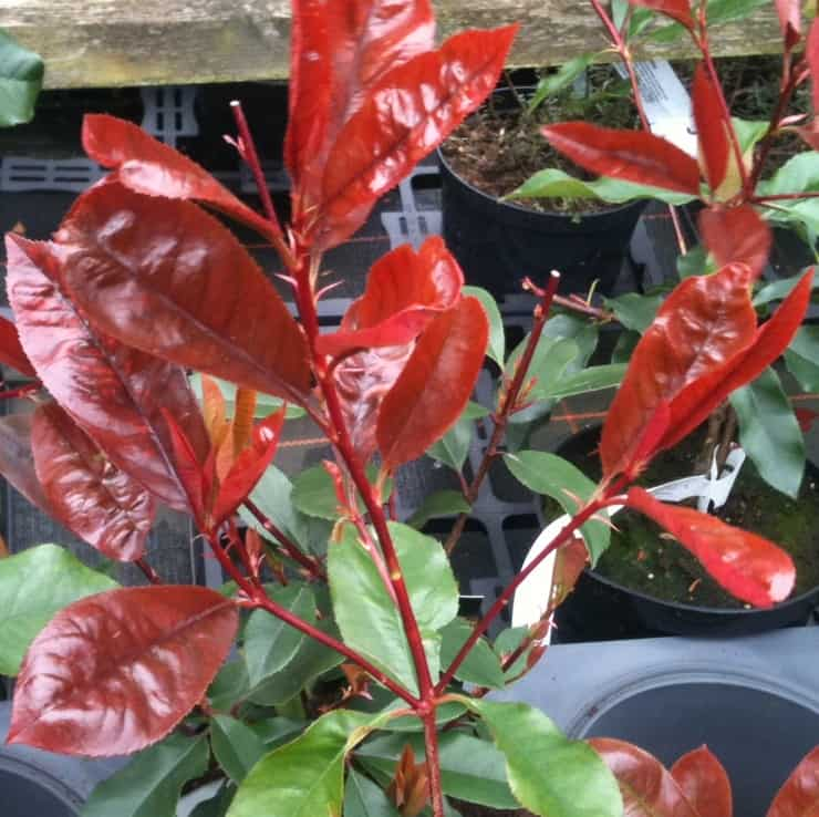 photinia red robin new red growth