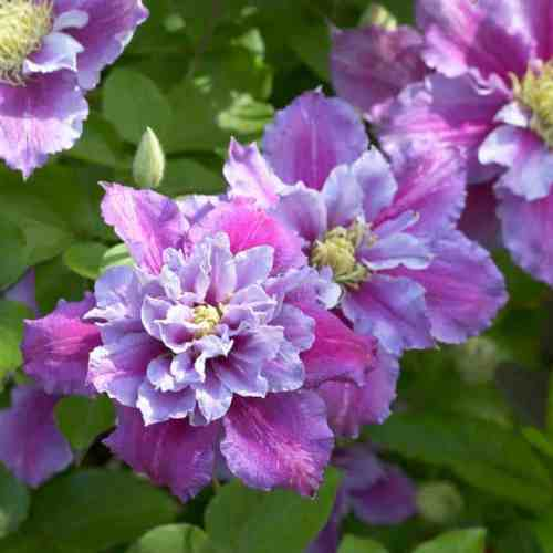 Clematis Piilu is considered one of the best clematis for containers, and for shade. It has two waves of flowers, the first of which happens in late spring and is double while the second happens in late summer and is single. The flowers are pink, spanning 7-10cm each.