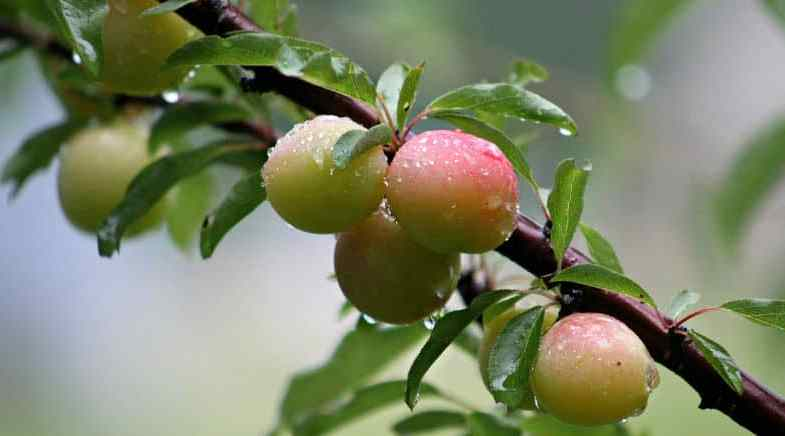 Pruning plum trees – newly planted and established trees
