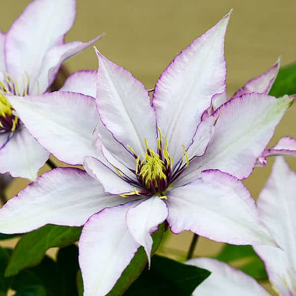 This variety is perfect for patio planting. It is a compact variety that has layered and pointed petals each of which take on a silvery pink shade with a rich purple edging. The centre brings with it a crown of dark purple tipped with bright yellow. It will meander over any trellis or fence you have to give it something up which to climb. This variety attracts butterflies, is perfect for pollinators, has a long blooming cycle, and we'll fare quite well in containers.