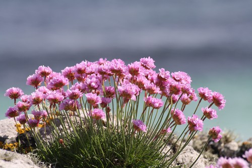 It is called the sea thrift because it is not prone to serious insect or disease problems and is one of the few plants that grow in the sailing conditions of a coastal region where other plants might not fare as well. It produces low-growing, compact plants the tufts for which spread about 30cm wide.