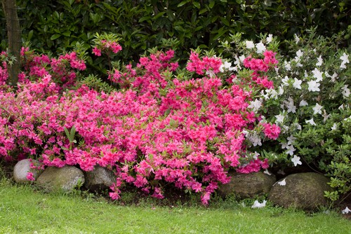 A beautiful and small shrub you can enjoy all the aspects of evergreen in conjunction with beautiful flowers that take on vibrant shades of purple, red, pink, or white. This shrub will reach a height between 1.5 and 2m tall. The foliage remains evergreen while the flowers spring up in April and May.