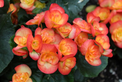 Begonias have patterned and variegated foliage with brightly coloured blooms. They can be grown in containers effectively and thrive in the shade. They will start to produce flowers at the beginning of Summer and continue until the first frost. You can pick one of three popular types, first being the wax begonias which have shiny, wax like leaves and blooms that come in red, pink, or white. second is a tuberous begonia which can be grown up right or in a trailing fashion over a trellis that you have inserted into the container. Angel wing begonias have an underside to the leaves that's often a deep red shade and provide speckled attractive foliage throughout the year.