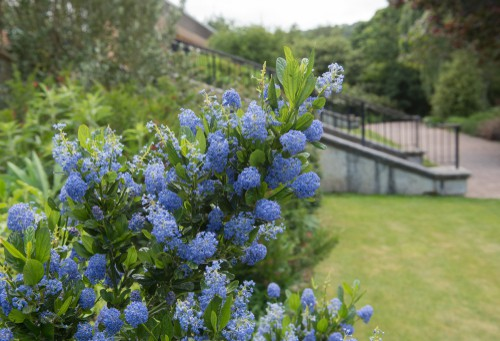 Colloquially known as the California lilac, this dense and compact evergreen shrub is known not just for its ability to spread effectively as a specimen plant but because of the clusters of cerulean blue flowers that show up in the springtime and remain throughout summer.