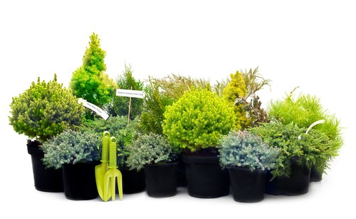 Caring for conifers requires some of the same elements as caring for any other plants such that they need adequate water, especially when young, proper soil, usually slightly acidic, and sunlight.