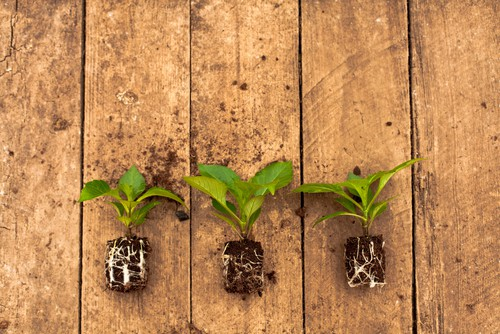 After the new shoots that emerge from the tuber have three or four sets of leaves you can take a cutting by slicing right down to the tuber and cuttings a tiny piece of the tuber with the cutting and place it in a pot, 9cm are ideal and we recommend you insert 3 cutting around the edge of each pot.