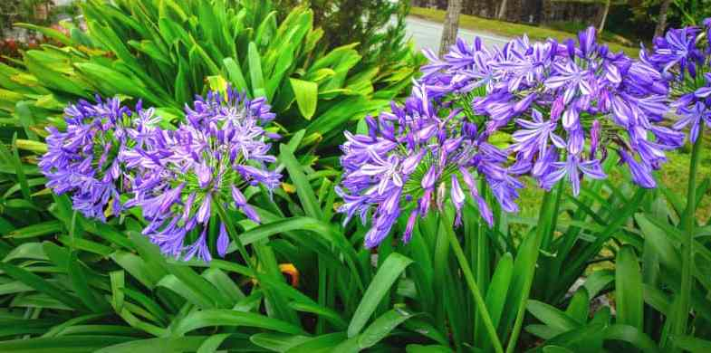 Dividing agapanthus – How and when to divide step by step