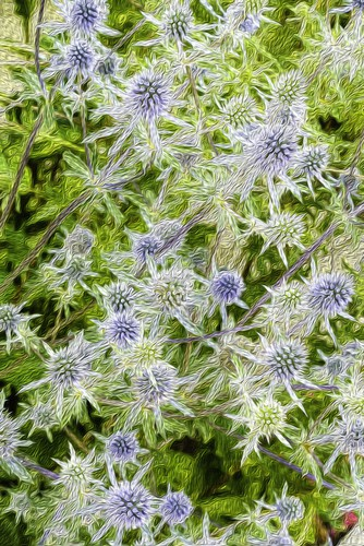 Commonly referred to as a sea holly this unusual species of plant takes on a very distinct shape and is actually a perennial, meaning it does back every winter and regrows in spring. It has green foliage that is marbled with white throughout the centre. It grows in a compact design and as it gets older the stems branch out. In the branching, heads are white flowers that have blue bracts. This type of flower blooms in the middle of summer and offsets the deep green colour of the foliage.