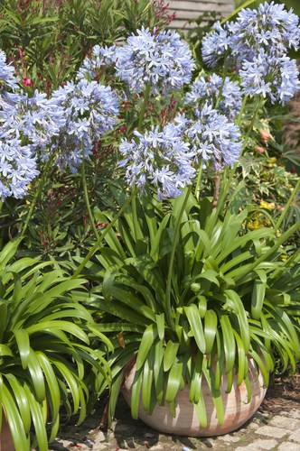Growing agapanthus in pots