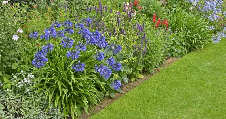Growing Agapanthus – The beginner's guide to planting and general care