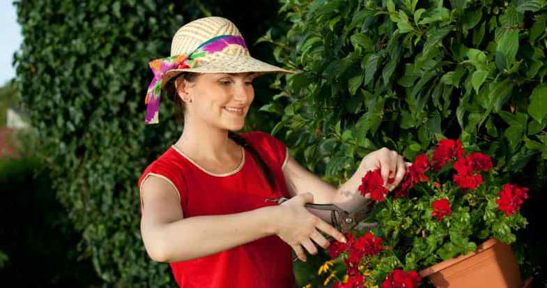 How to deadhead geraniums to keep them flowering