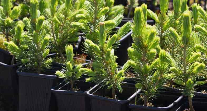 How To Grow Conifers From Cuttings – Step by step