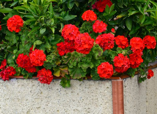 If you have a full-sized geranium you can make it go dormant for the winter which basically means its stopes growing and using energy and then it comes back come springtime with the warmer temperatures. If you are going to make your geranium go dormant you want a cool, unheated space in which to store it usually a cool dry space such as a greenhouse or shed. The area where the plants are stored needs to remain cold but it can't get below freezing if you keep in it a greenhouse its best to have a heater with a thermostat set to around 5ºdeg;C or 41ºdeg;F to keep the frost at bay.