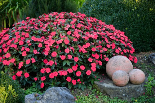 It requires low maintenance and is very tolerant of shade. When grown in a container make sure that you provide it with good quality compost designed for baskets and tubs and pinchback the stems of the younger plants in order to help it properly branch upward and outward.