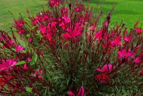 Lobelia cardinalis - perfect for water logged soils