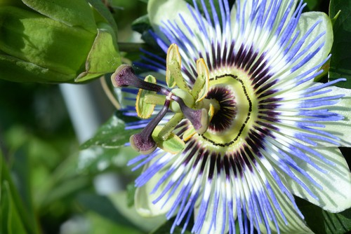 Passion flowers are some of the most visually stunning flowers you will ever see. Even though they are the quintessential tropical flower, they can legitimately be grown anywhere, especially the common passiflora caerulea variety pictured above. There are so many varieties although most people know of the white and purple mixture, you can capitalize upon stunning burgundy flowers, blue flowers, pink and white mixtures, and much more. The 3 hardy varieties we recommend are Passiflora caerulea, Passiflora caerulea Constance Eliott which is all white and Passiflora 'Amethyst' which is purple.