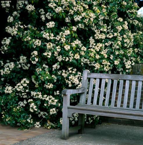 Pruning choisya - do you have to prune