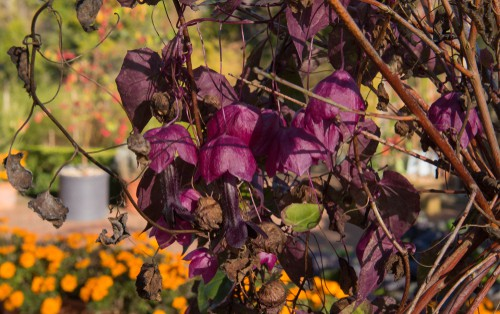 These are very exotic-looking perennial climbers that produce heart-shaped leaves and pendant flowers in bright fuchsia. They will produce in succession starting at the end of spring and going through the remainder of the season.