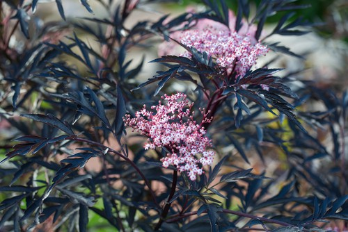 Sambucus nigra will grow in medium to wet soil and is quite tolerant of partial shade or full sun but of course, the flowers will be most prominent if it is allowed full sun. It is very tolerant of a wide range of soils as well which makes it ideal for coastal settings.