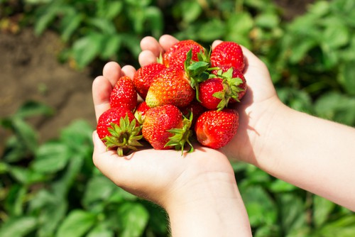 The most popular and probably more traditional type of strawberries are summer-fruiting varieties. They usually produce very heavy crops, often much larger strawberries but only a few weeks. However, you can buy early, mid and later fruiting varieties so it's a good idea to plant a mix to extend how long you can pick strawberries for.
